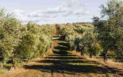Mitos populares sobre el aceite de oliva